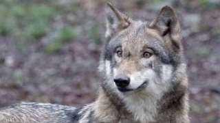 ذهبوا لإنقاذ كلب فوجدوا ذئبا